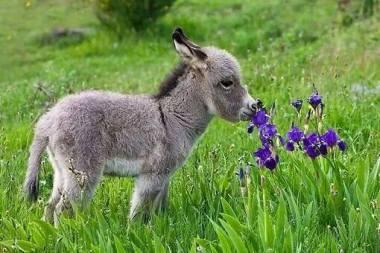 mini-donkey