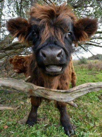 Highland Baby Cow
